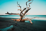 Driftwood, Jekyll Island
