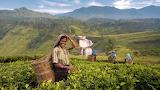 Harvest in sri lanka