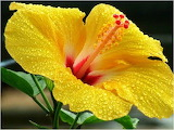 The Hibiscus - Hawaii State Flower...