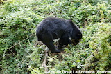 Spectacled bear looking 4 blackberries/ Ours à lunettes 2