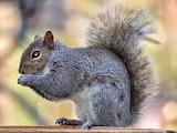 Eastern Grey Squirrel at Feeder