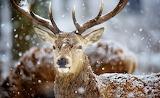 Deer, horns, animal, snow, winter