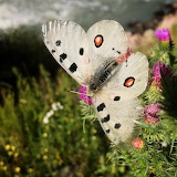 Apollo butterfly