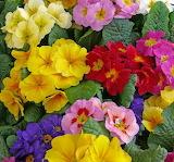 Primrose of every color