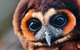 Brown-owl-bird-close-up