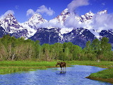 Moose Wading in a River Grand, Teton National Park, Wyoming...