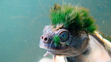 Mary-River-Schildkröte
