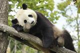 Panda -zoo in loiren valleu, France