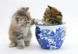 Maine Coon Kittens Playing...