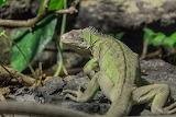 small Antillean iguana