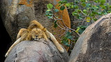 ☺♥ Funny sleeping king of the jungle...