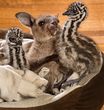 Baby kangaroos and ostrich cubs