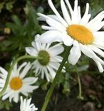 Shasta Daisy 01
