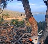 White Headed Woodpecker Visitor2020-10-06