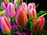 Nice bunch of Tulips...