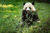 Bears - Panda