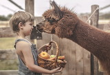 Boy, Alpaca, basket, vegetables, child, kid, animal, nature