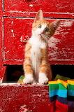 Orange Tabby  Kitten...
