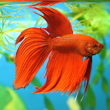 ^ Red Betta Fish