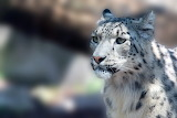 Big Cats Snow leopards Snout Animals