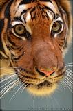 TigerModel