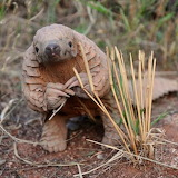 "Animals tumblr tangledwing Pangolin ""Maria Diekmann"" pbsnature"
