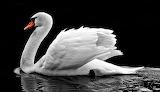 Serenity - White Swan
