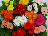 ^ Colorful gerbera daisies
