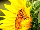 Enchanting sunflower