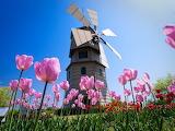 Windmill pink tulips