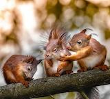 Three squirrels
