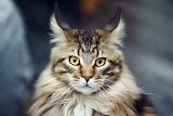 Cat face furry striped 97082 5184x3456