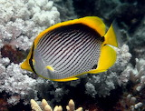 black back butterfly fish