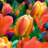 Bouquet Tulips