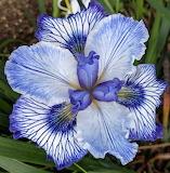 Pacifica iris