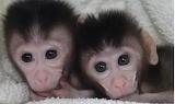 Twin Simian Monkeys CC0