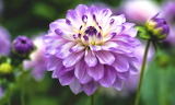 Dahlia Flower HD Wallpapers 2