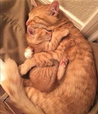 Ginger Snuggles