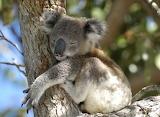 Bears - Koala sleeping