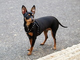 Beautiful Mini Doberman Pinscher