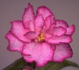 African violet 'Ian Minuet'