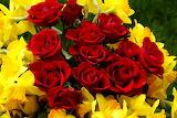 Roses et jonquilles