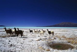 Heard of Llama, Coipasa Lake, Bolivia