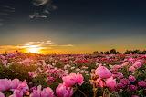 Field, the sun, sunset, flowers, nature, horizon, peonies