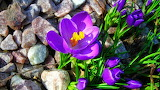 #Purple Crocuses