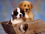 St. Bernard and Golden Retriever