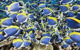Powder Blue Tang, Thaa Atoll, Maldives