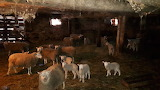 A Hird of Sheep
