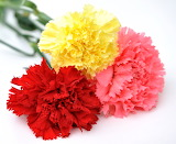 Carnation - Clavell