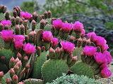 Prickly Pear Cactus Blooming Flowers Spring
